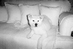 How to Potty Train an Akita Puppy?